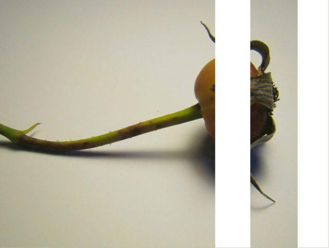 rachela abbate rosehip_herbarium-series-by-Rachela-abbaet herbarium