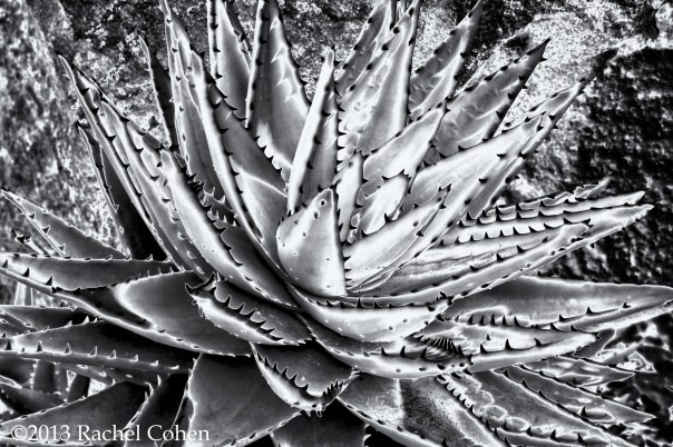 Succulent using solarization and monochrome toning.