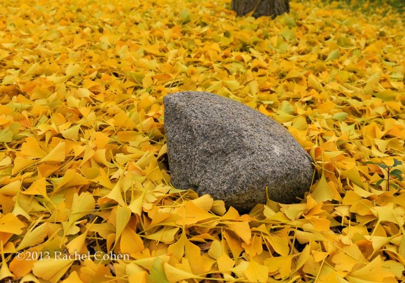 Beautiful golden ginkgo leaves create a carpet on the ground!