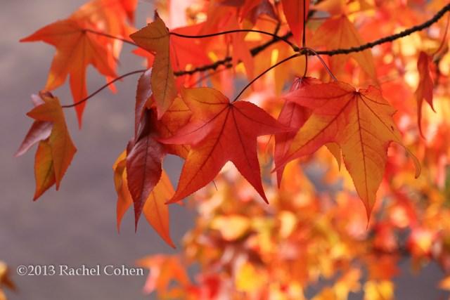 """Maple Leaf Zen"""
