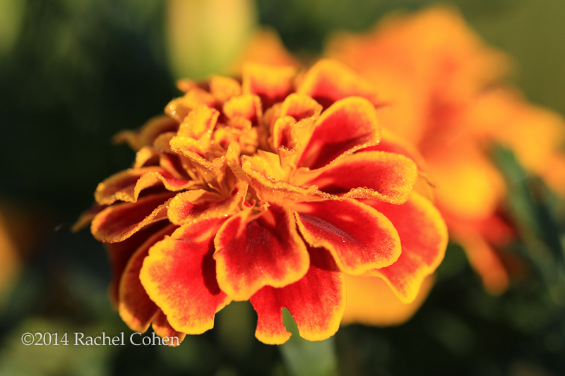 An imperfect Marigold in lovely morning sunlight and dew!!