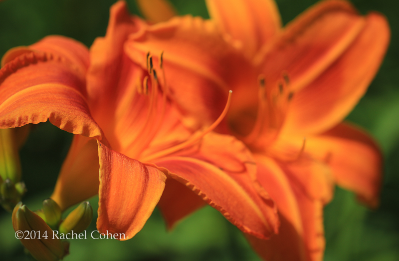 """Summer Tiger Lily"" Also known as Day Lily, Tawny Lily, and Ditch Lily."