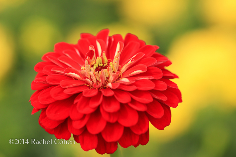"""Zinnia Orange King"" A Stunning deep orange hued Zinnia!!"