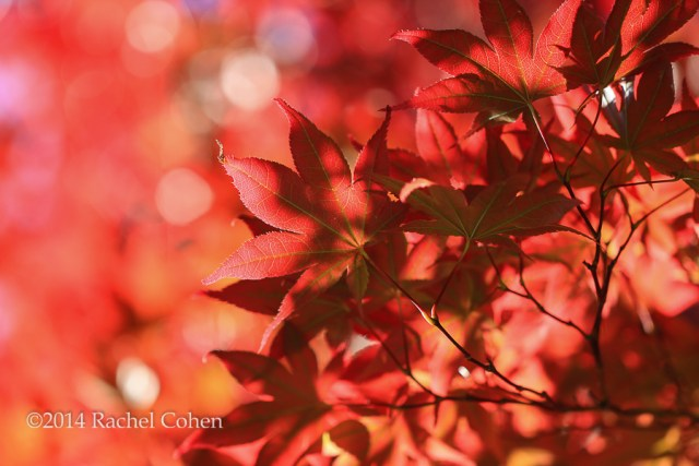 """""""Japanese Maple in Red"""" Some glorious fall color!"""