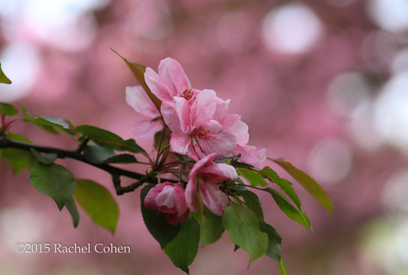 """Crabapple Blossoms"""