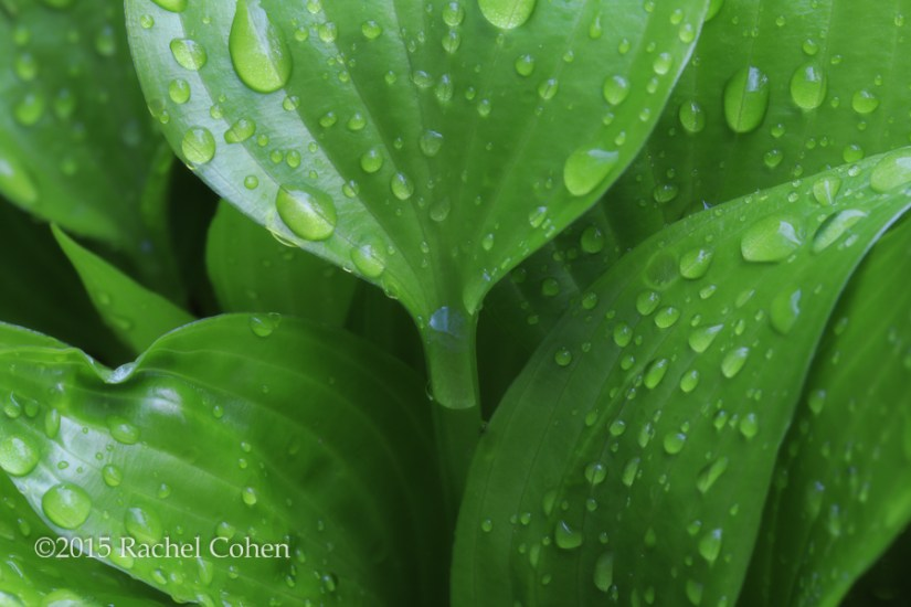 """Hosta in the Rain"""