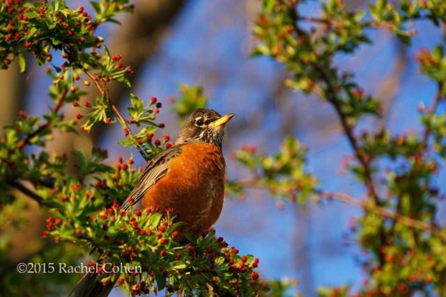 """""""Robin in Spring"""""""