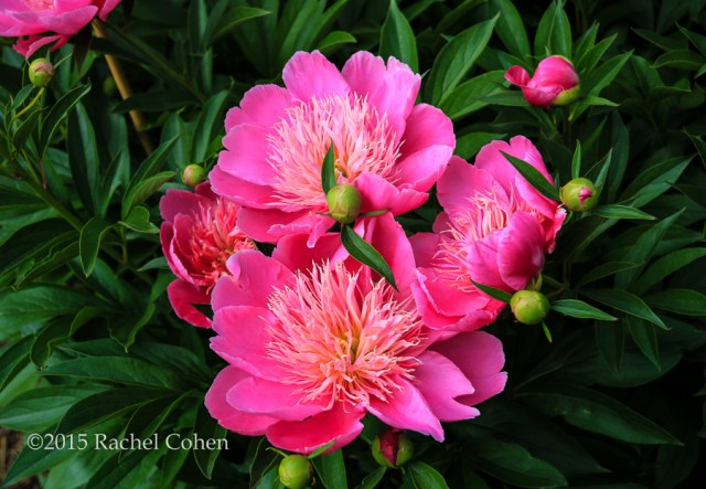 """Nestled Peonies"" A lovely group of pink peonies nestled within their green foliage!"
