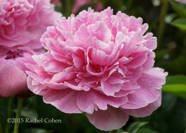 """""""Pink Sorbet"""" That's what this gorgeous puffy and full blossom reminds me of. I also love the mottled pink color, not found in other peonies that I've seen before!"""