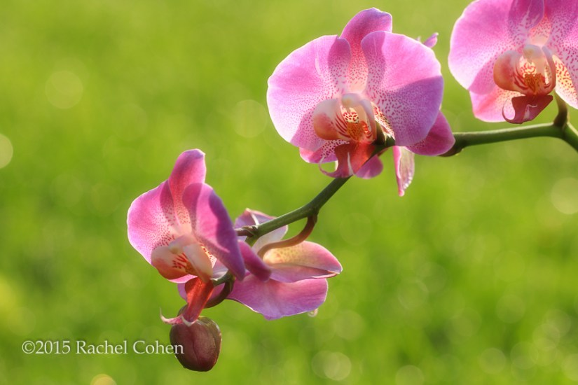 """Sun Drenched Orchids"" Wonderful morning sunlight illuminates these lovely purple orchids!"