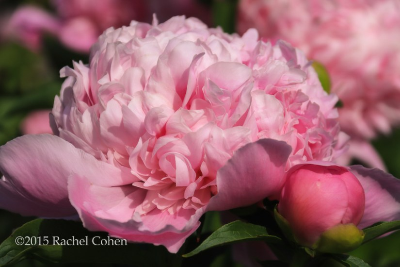 """My Sweet Lady"" This year was a great year for peonies! I particularly loved this huge specimen!!"