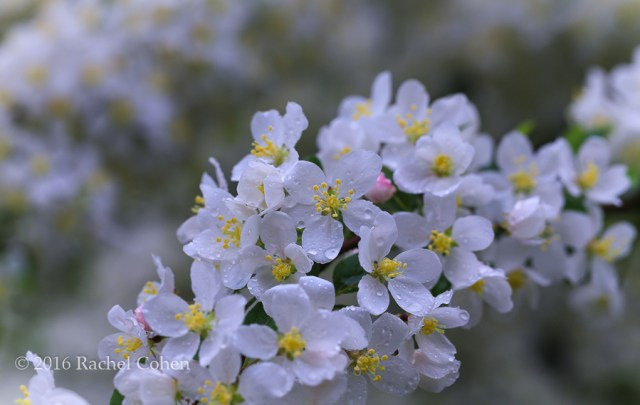 """""""Fresh as Morning Air""""  Delicate white apple blossoms after a spring rain!"""