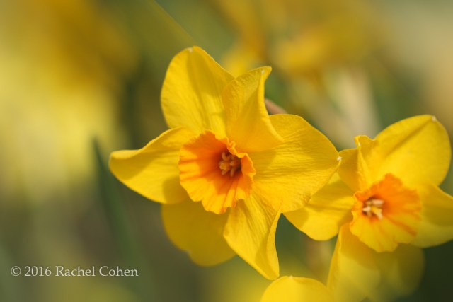 """""""Daffodils within a Dream"""" Sun drenched daffodils on a windy day!"""