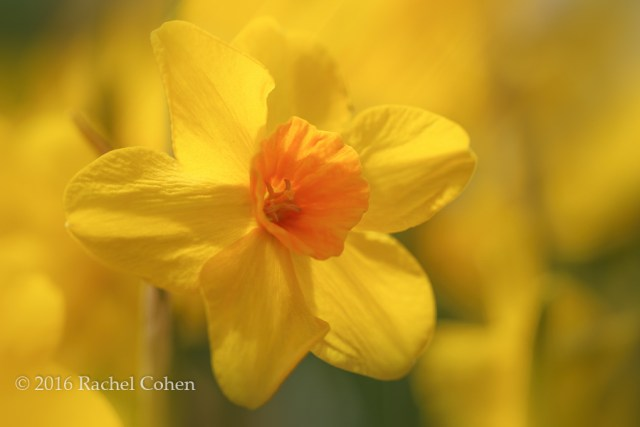 """""""Daffodils in Sunlight"""" Sun drenched daffodils on a spring day!"""