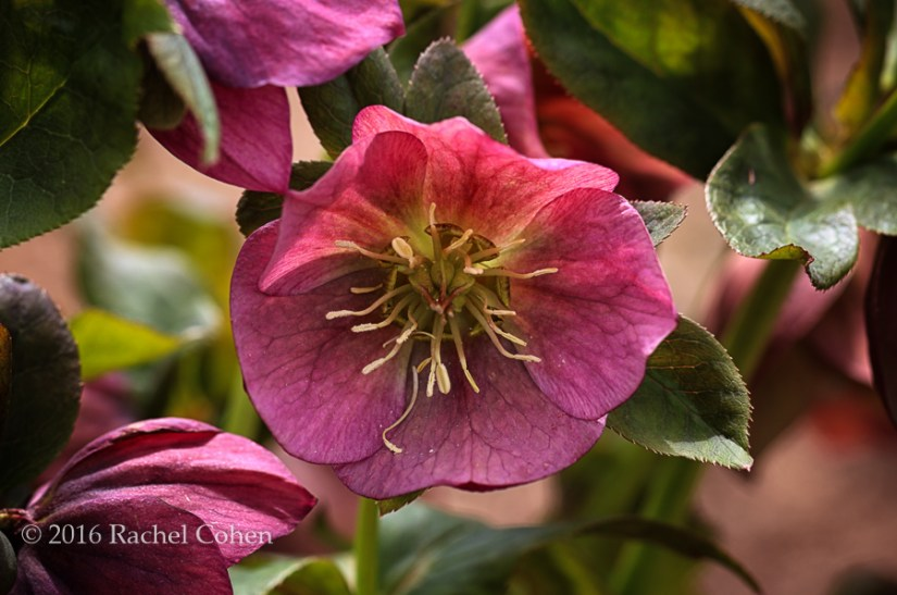 """Hellebore in Deep Pink"" Really lovely pink Hellebore , fully open."