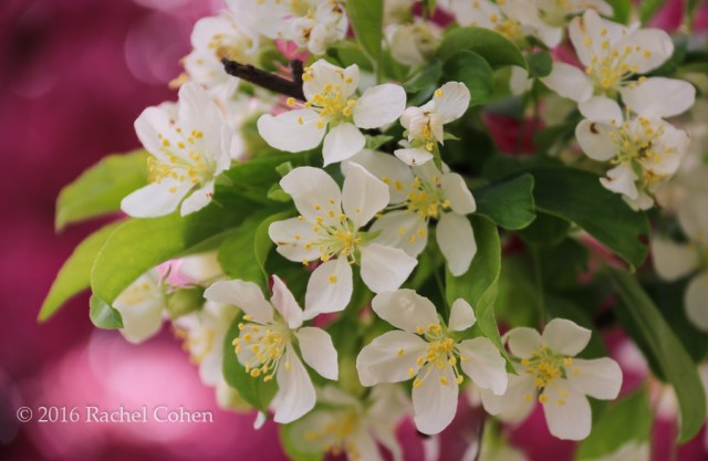 """""""White Blossoms on Raspberry"""" Beautiful crab-apple blossoms against a background of raspberry."""