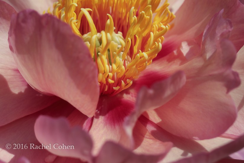 """""""Peony in Peachy Pink"""" A beautiful macro of a peach and pink hued Peony!"""