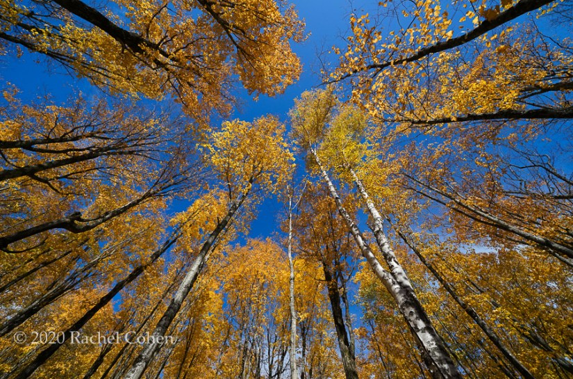 "Life is Looking Up""  A wonderful look up during fall with its spectacular colors and a bright blue sky!"