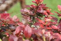 Photo of spiderweb with raindrops on a bush