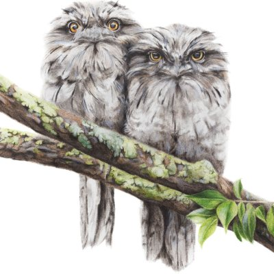 Tawny Frogmouth - Fine Art Print