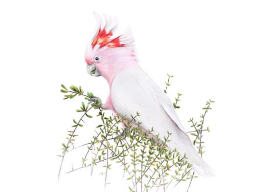 Australian Wildlife Art - Pink Cockatoo