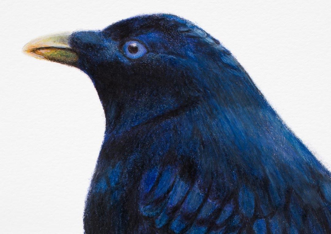 Satin Bowerbird – Fine Art Print