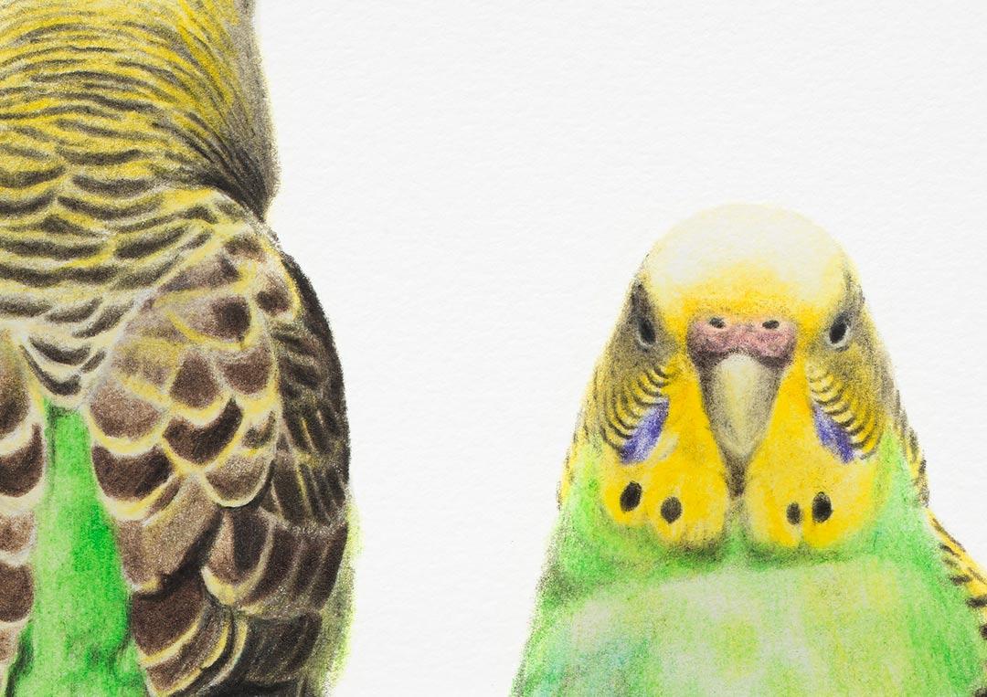 Budgerigars – Fine Art Print