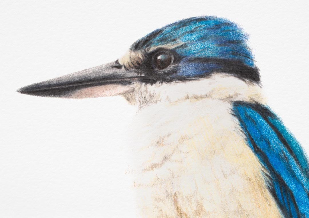 Sacred Kingfisher – Fine Art Print