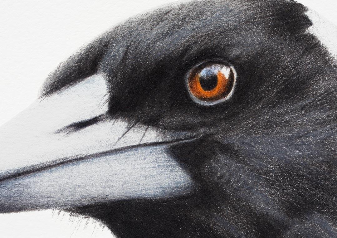 Australian Magpie – Fine Art Print