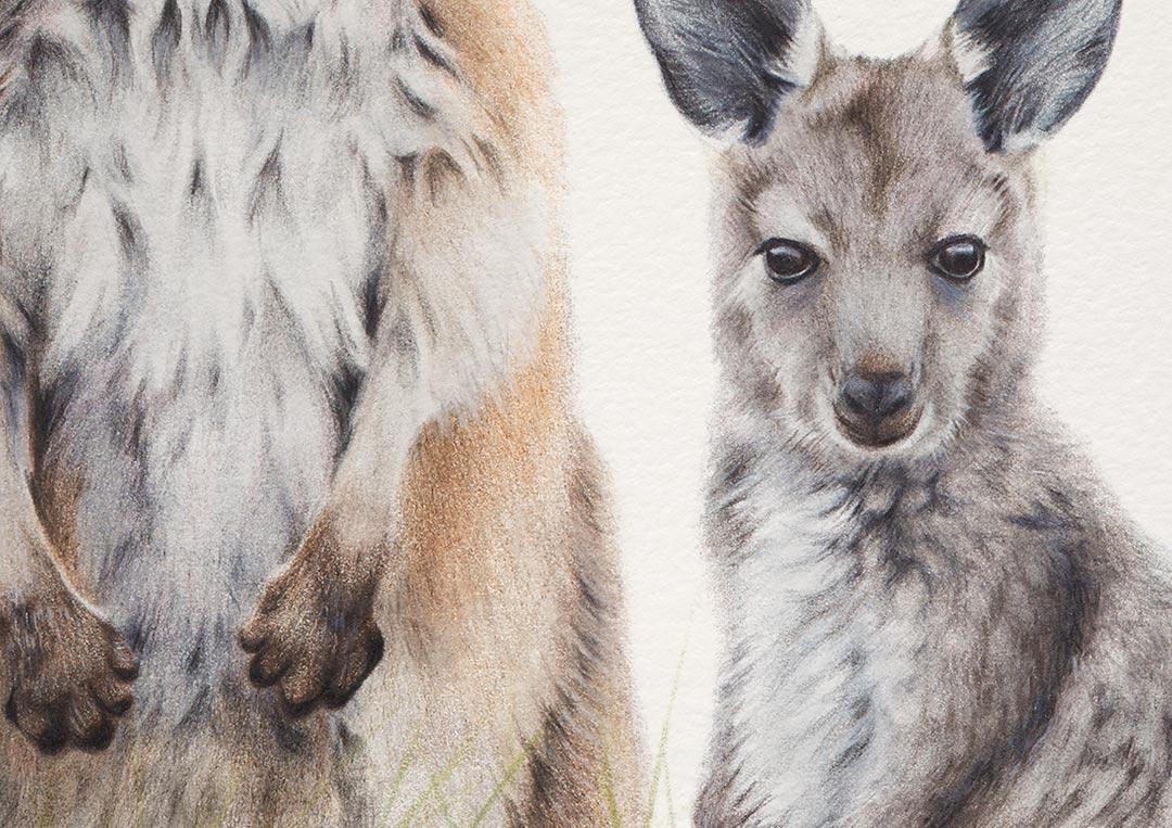Common Wallaroo & Joey – Fine Art Print