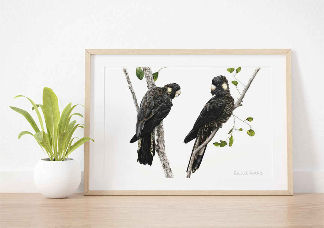 Yellow-tailed Black Cockatoos – Example of Framed Fine Art Print
