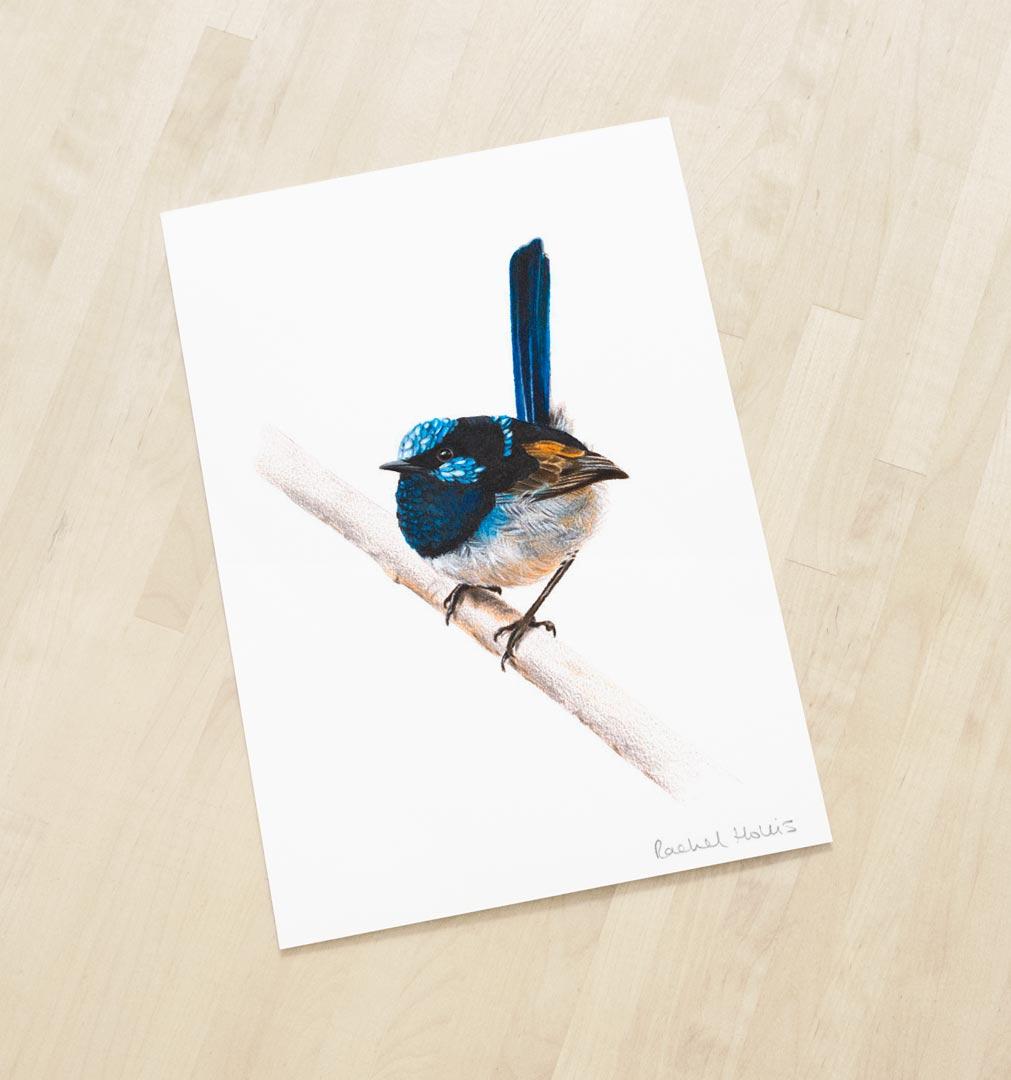 Superb Fairywren – Fine Art Print