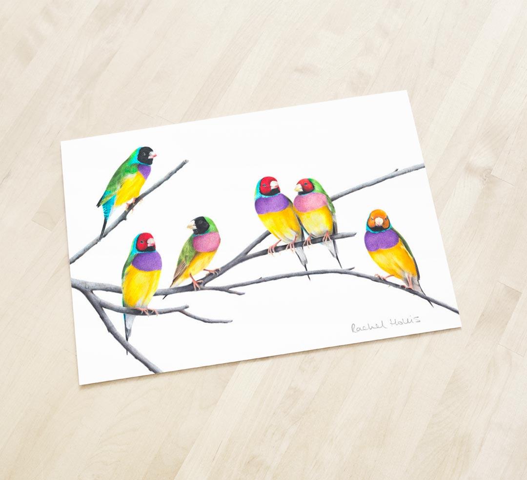 Gouldian Finches – Fine Art Print