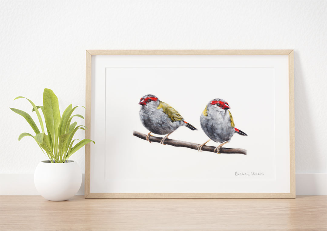 Red-browed Finches – Example of Framed Fine Art Print