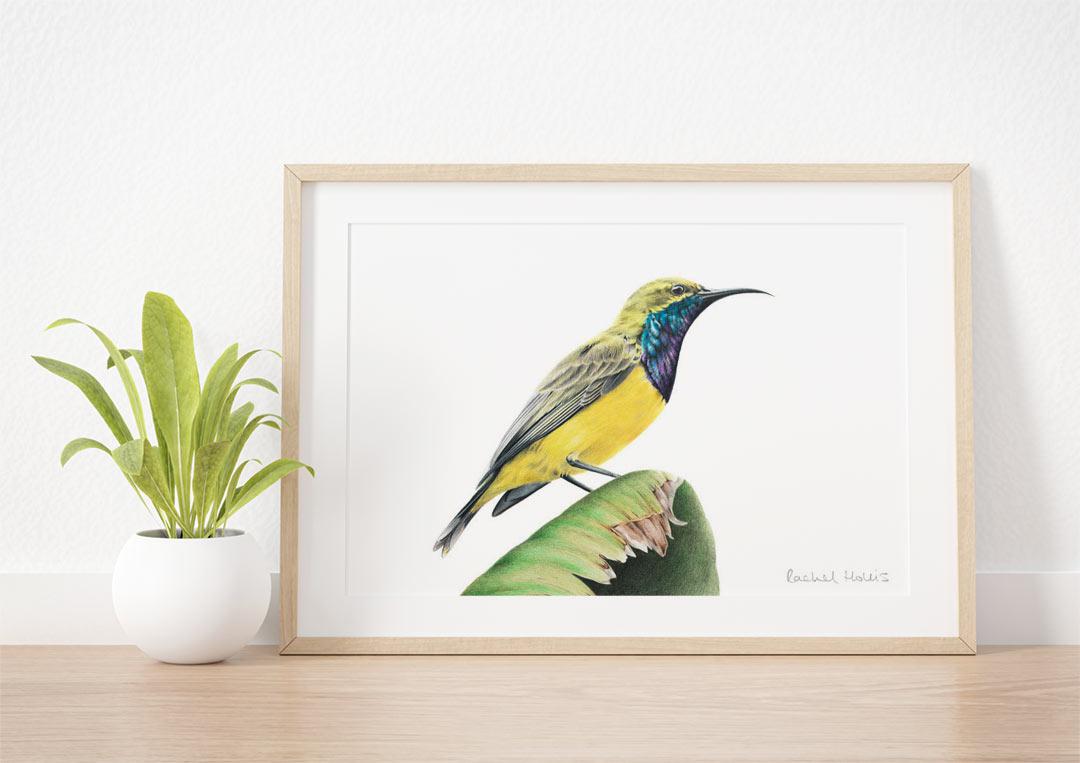Olive-backed Sunbird - Example of Framed Fine Art Print