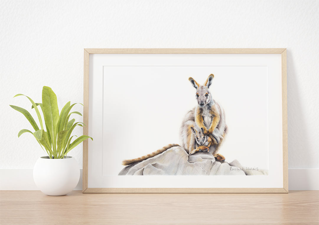 Yellow-footed Rock Wallaby & Joey – Fine Art Print