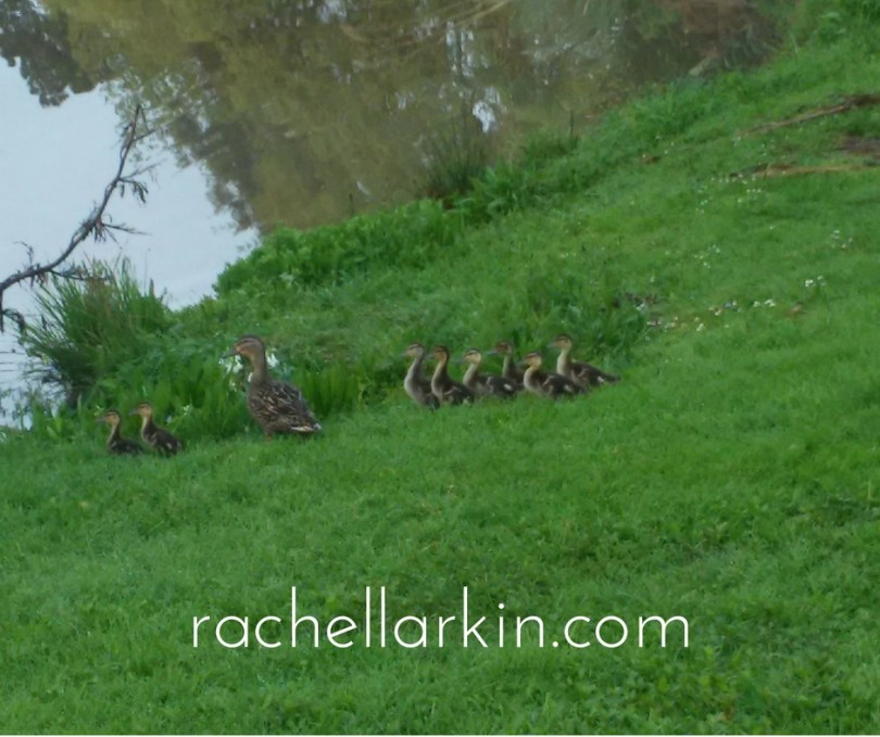 ducklings-day-7