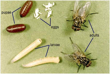 Image result for maggot stages of development