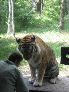 Tiger working through enrichment activities.