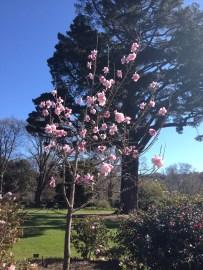 A magnificent magnolia