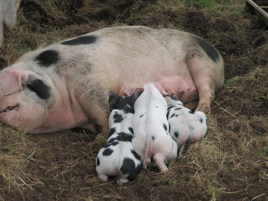 a prizewinning sow and her four prizewinning piglets