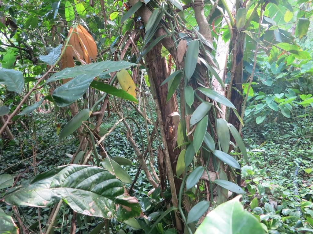 A vanilla vine climbs a tree at Vanibel coffee plantation.