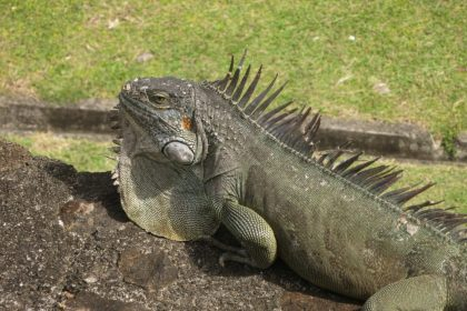 a close-up of an iguana in Fort St. Louis