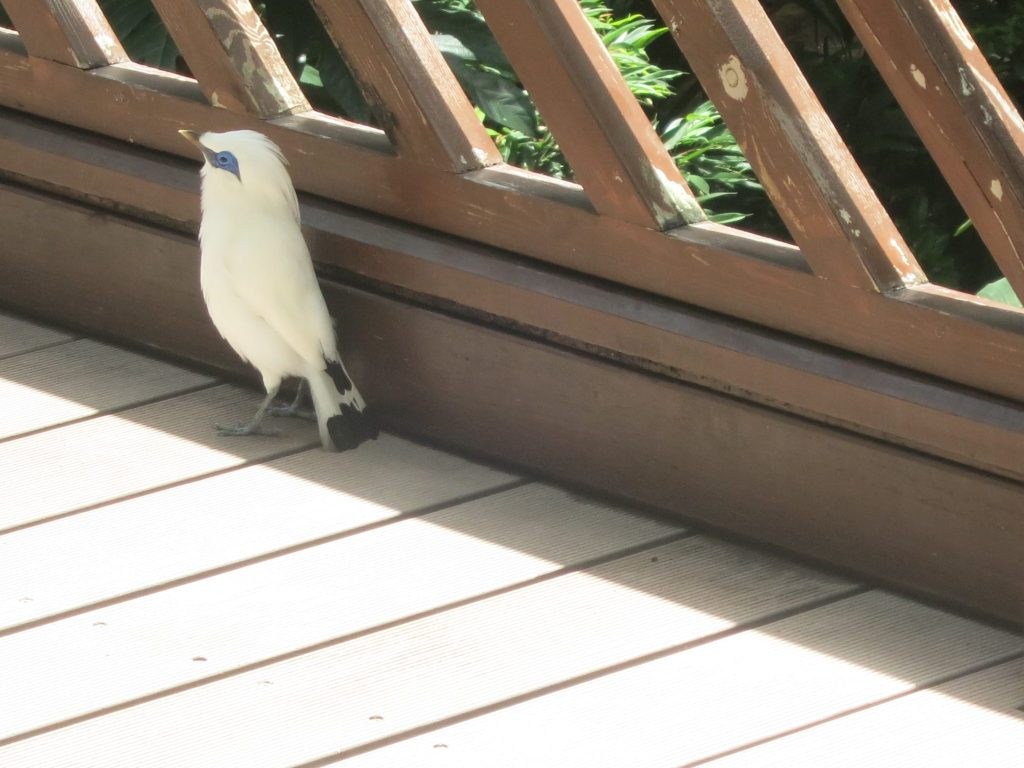 a white bird with a blue patch around its eyes, in Hong Kong Park