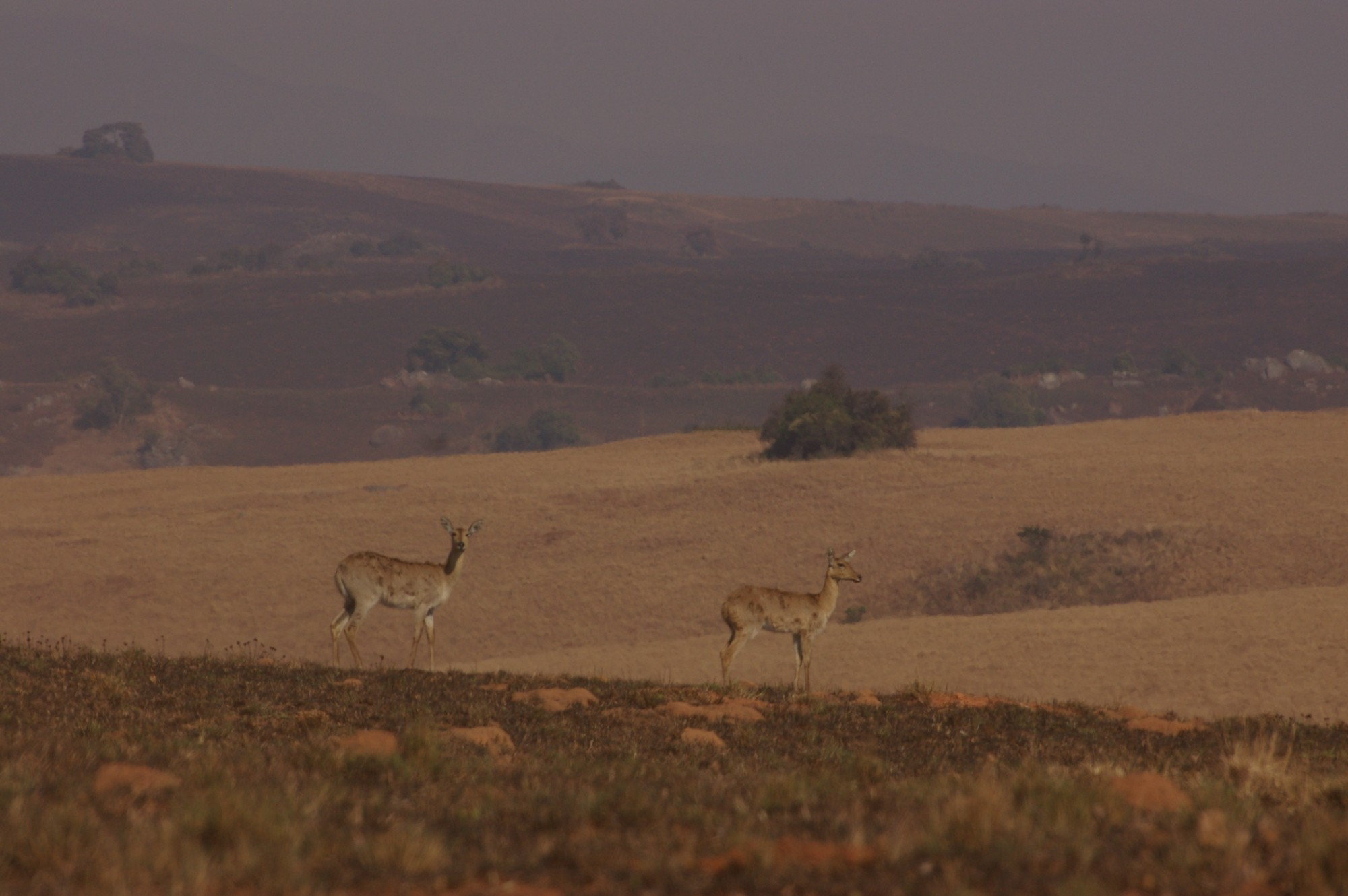 Antelope in Nyika National Park in Malawi (photo courtesy of Anne Hellersmith)