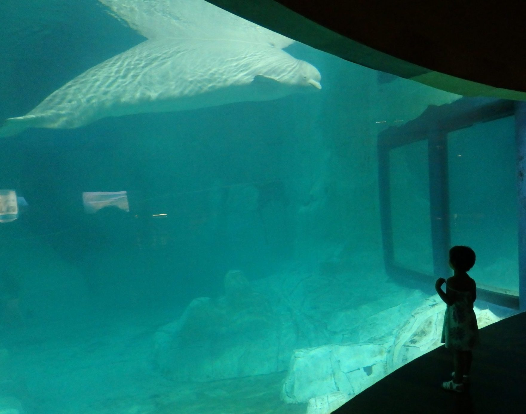 a beluga whale in the Arctic exhibit at the City of Arts and Sciences in Valencia, Spain