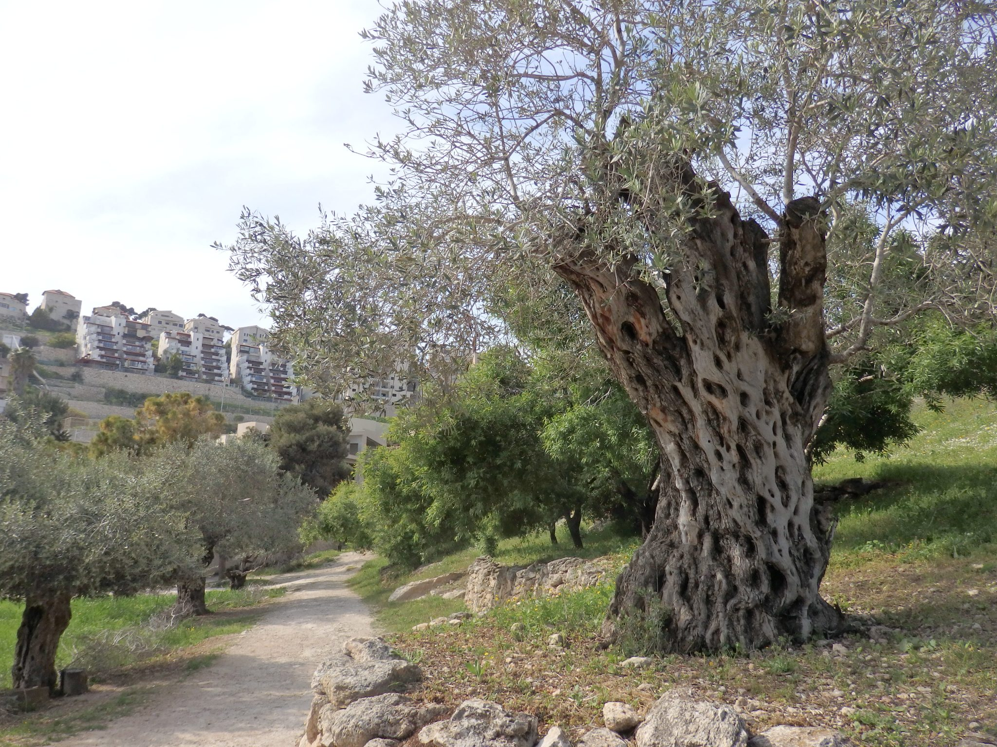 The olive grove, with modern apartment buildings overlooking the site. Biblical Nazareth.