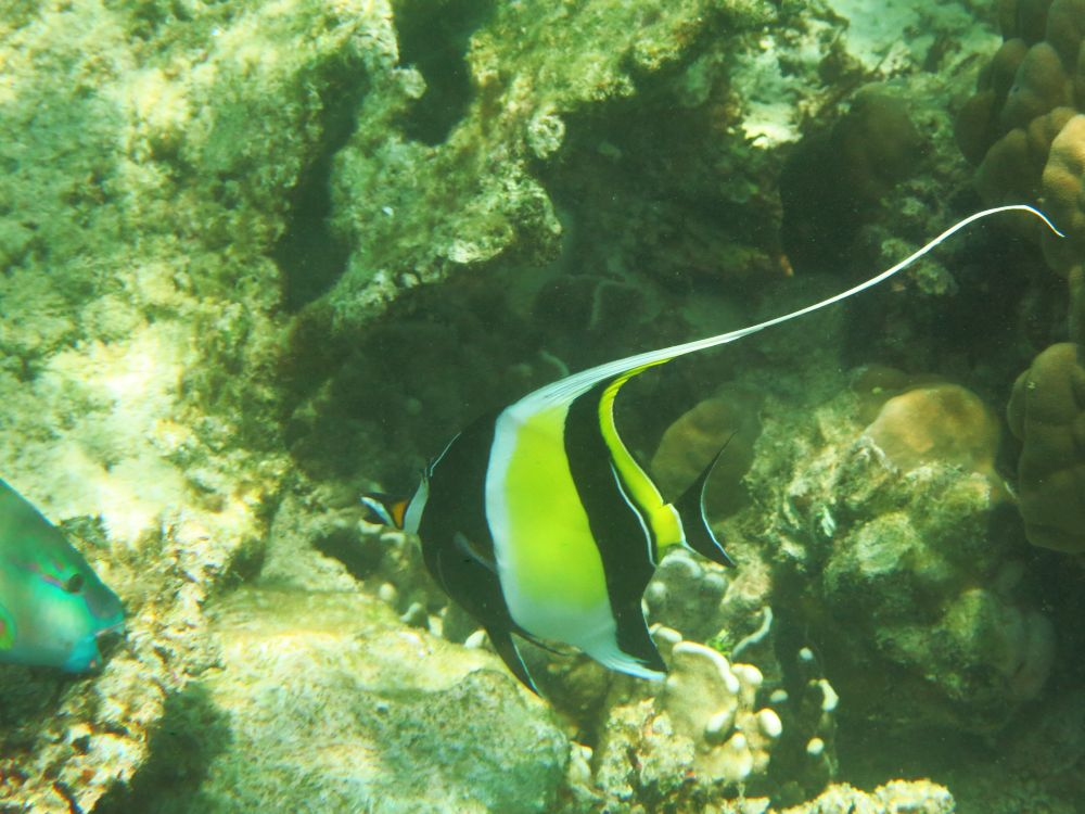 A moorish idol, and you can also see the head of a parrotfish on the left.