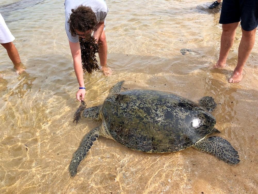Visitors feed a returned turtle seagrass at Hikkaduwa turtle sanctuary.