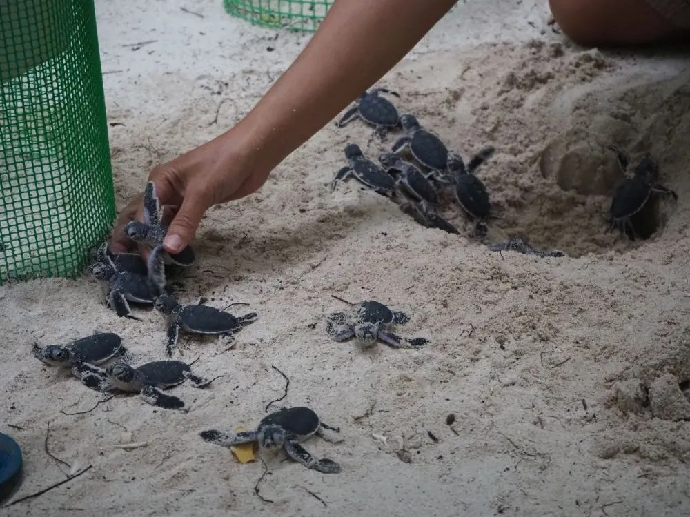 These green turtle hatchlings have just dug their way out of the nest, with some help from an employee. As they tried to escape, she caught them, counted them, and deposited them in a dish tub.